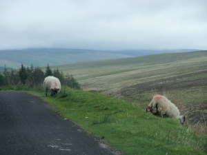 sheep in the glens