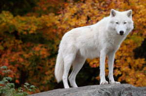 canstockphoto2546250 Wolf